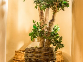 Plante stabilizate de interior