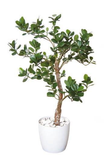 Ficus Panda Elfie